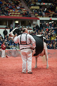 Grand Champion of the International Holstein Show at 2014 World Dairy Expo